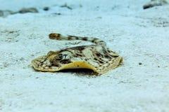 Yellow stingray, urobatis jamaicensis, swimming toward photographer on sandy bottom Royalty Free Stock Photos