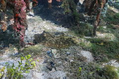 Yellow stingray Urobatis jamaicensis underwater Royalty Free Stock Photo