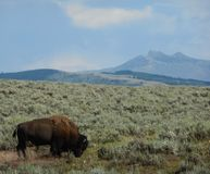 Yellow stone national park royalty free stock photography