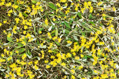 Yellow stonecrop flowers closeup Stock Image