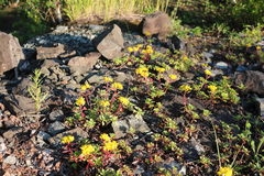 Yellow stonecrop flowers. On a rocky slope Royalty Free Stock Image