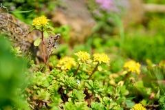 Yellow stonecrop, sedum in blossom royalty free stock photo