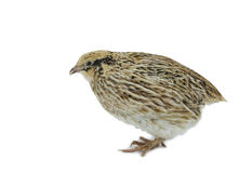 Yellow strain of quail on white background Stock Image