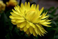 Yellow straw flower Stock Photo