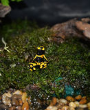 Yellow  Strawberry poison dart frog Royalty Free Stock Photos