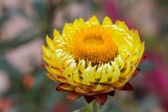 Yellow strawflower Stock Image