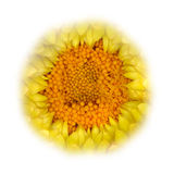Yellow Strawflower Fading into White Royalty Free Stock Images