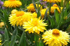 Yellow strawflower in the garden Stock Photography