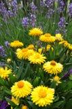 Yellow strawflower in the garden Stock Photo