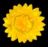 Yellow Strawflower, Helichrysum bracteatum Isolated on Black Royalty Free Stock Photos