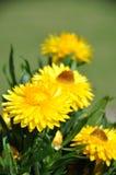 Yellow strawflowers Stock Images