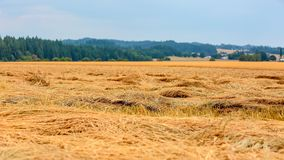 Yellow straws left on a wheat field after wheat harvest royalty free stock photo