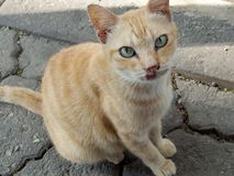 Yellow stray cat with a sad face. Domestic stray cat portraiture face and half body at the outside Royalty Free Stock Photos