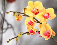 Yellow streaked orchid branches before winter-window. Yellow streaked orchid branches with buds before winter-window Stock Photography