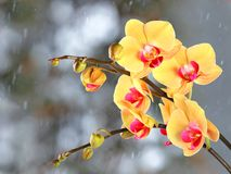 Yellow streaked orchid branches before winter-window. Yellow streaked orchid branches with buds before winter-window, snowfall Royalty Free Stock Image