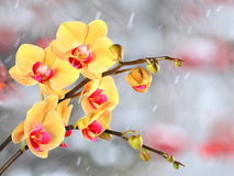 Yellow streaked orchid branches before winter-window. Yellow streaked orchid branches with buds before winter-window, snowfall Stock Photos