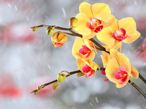 Yellow streaked orchid branches before winter-window. Yellow streaked orchid branches with buds before winter-window, snowfall Royalty Free Stock Photos