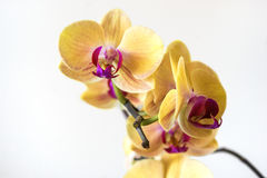 Yellow streaked orchid flower, isolated Stock Images