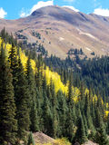Yellow Stripe. Patch of yellow Aspen among tall Pines in the Rocky Mountains stock photography