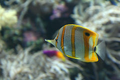Yellow stripe angel fish. On rock background Stock Photos