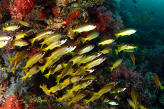 Yellow stripe trevally fish stock image