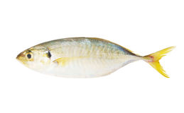 Yellow stripe trevally fish isolated Royalty Free Stock Images