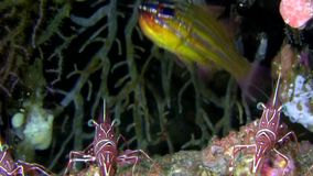 Yellow-striped cardinal fish Ostorhinchus sp.1  with Camel shrimps in corals Lembeh strait. Indonesia stock footage