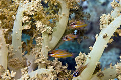 Yellow-striped cardinalfish ( apogon cyanosoma). Taken in Middle Garden Stock Images