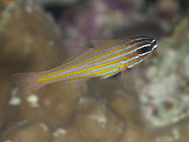 Yellow-striped cardinalfish. In red sea royalty free stock photography