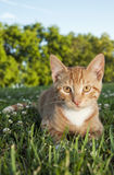 Yellow Striped cat portrait Royalty Free Stock Image