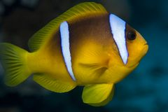 Yellow striped clownfish. A closeup view of a yellow clownfish, sometimes called a anemonefish, with white stripes against a blue background.  Most often found Royalty Free Stock Image