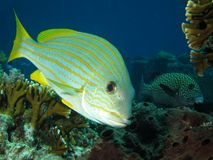 Yellow striped fish close up. Goldstriped sweetlips (Plectorhincus chrysotaenia) looking into the camera lens. The fishing restrictions in Komodo National Park stock photos