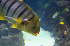 Yellow striped fish Royalty Free Stock Image