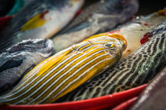 Yellow striped fish at marketplace. Fresh raw yellow striped fish displayed at a fish market in flores, indonesia Stock Photos