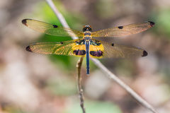 Yellow-striped flutterer dragonfly Royalty Free Stock Photography