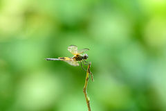Yellow-striped Flutterer Dragonfly (Rhyothemis phyllis) Royalty Free Stock Photos