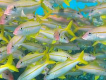 Yellow striped goatfish school stock photo