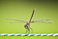 Yellow Striped Hunter Dragonfly on a Ski Rope Royalty Free Stock Photography