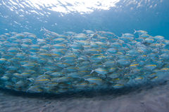 Yellow-striped scad Stock Images