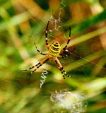 Yellow striped spider Royalty Free Stock Images