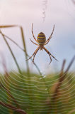 Yellow striped spider sit on web Stock Images