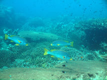 Yellow striped sweetlips in sipadan Royalty Free Stock Images