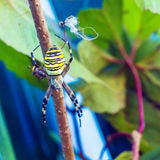 The yellow striped venomous wasp spider (Argiope bruennichi) Stock Image