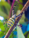 The yellow striped venomous wasp spider (Argiope bruennichi) Royalty Free Stock Photos