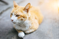 Yellow striped white cat lying on the cement floor. Yellow striped white cat lying on the cement floor in morning Royalty Free Stock Photos