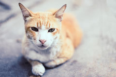 Yellow striped white cat lying on the cement floor. Yellow striped white cat lying on the cement floor in soft tone Royalty Free Stock Photo