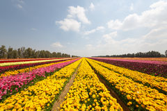 Yellow stripes of asian buttercups Royalty Free Stock Images