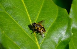 YELLOW STRIPPED BEE. BRIGHT YELLOW BEE RESTING ON A LEAF IN THE SUMMER SUN Royalty Free Stock Images