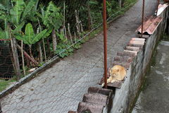 A yellow stripped cat sitting on a wall in the mountains of Venezuela. A yellow and white stripped cat sitting on some roof tiles over a road in the mountains of Stock Photography