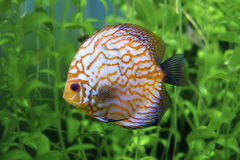 Yellow stripped discus Stock Images